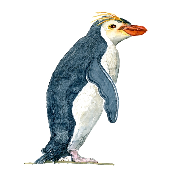 Penguin watercolor painting by Frits Ahlefeldt