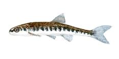 Watercolor of freshwaterfish, by Frits Ahlefeldt - Elritse Dansk Ferskvandsfisk