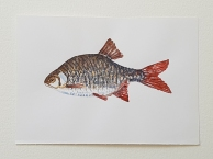 Rudd freshwater fish watercolor