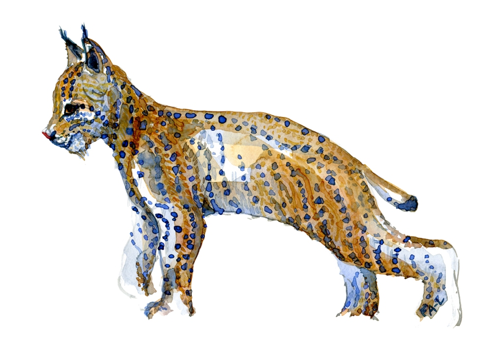 Watercolor by Frits Ahlefeldt of a young Lynx