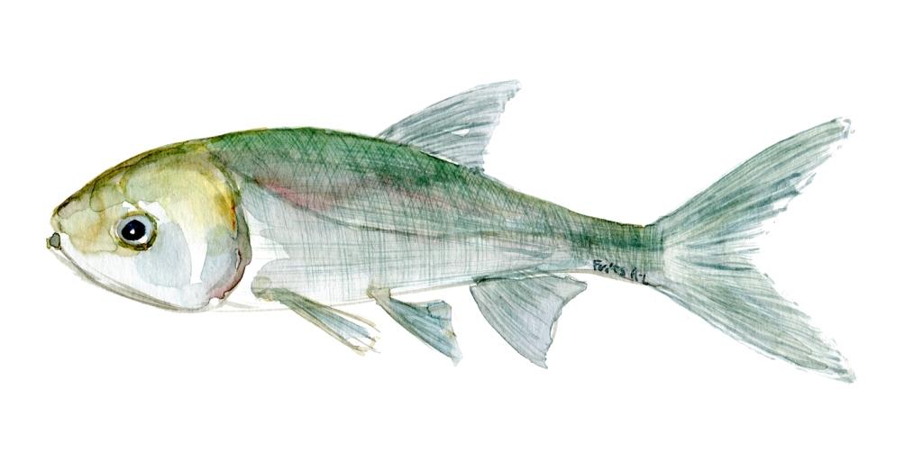Watercolor of freshwaterfish, by Frits Ahlefeldt - Karpe Dansk Ferskvandsfisk