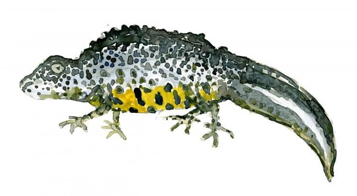 Watercolor of an salamander