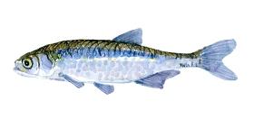Watercolor of freshwaterfish, by Frits Ahlefeldt - Regnløje Dansk Ferskvandsfisk