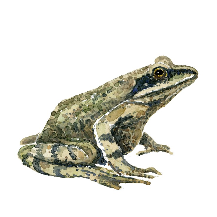 Watercolor of Moor frog - painting by Frits Ahlefeldt