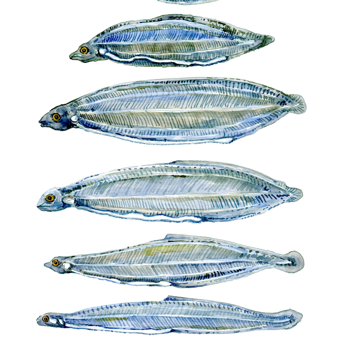 Larvae of the European Eel - watercolor painting