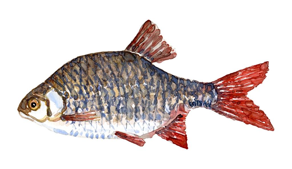 Watercolor of freshwaterfish, by Frits Ahlefeldt - Rudskalle Dansk Ferskvandsfisk