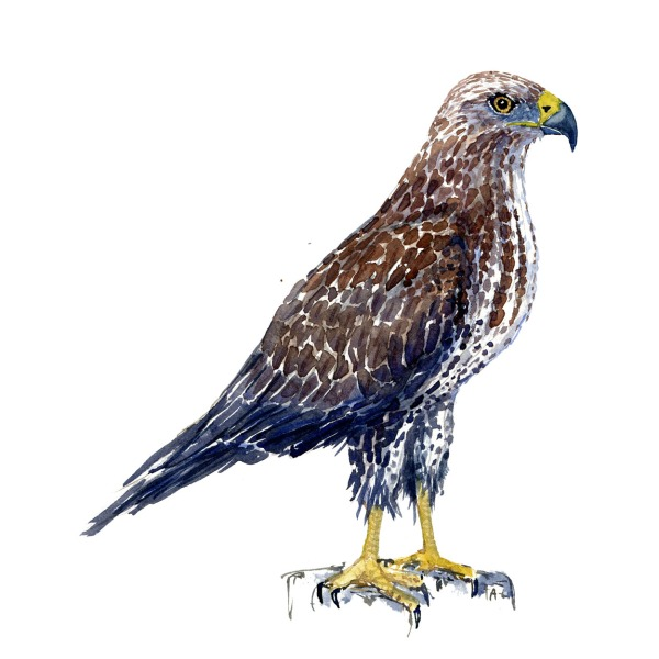Watercolor sketch of a Common Buzzard Bird. Painting by Frits ahlefeldt