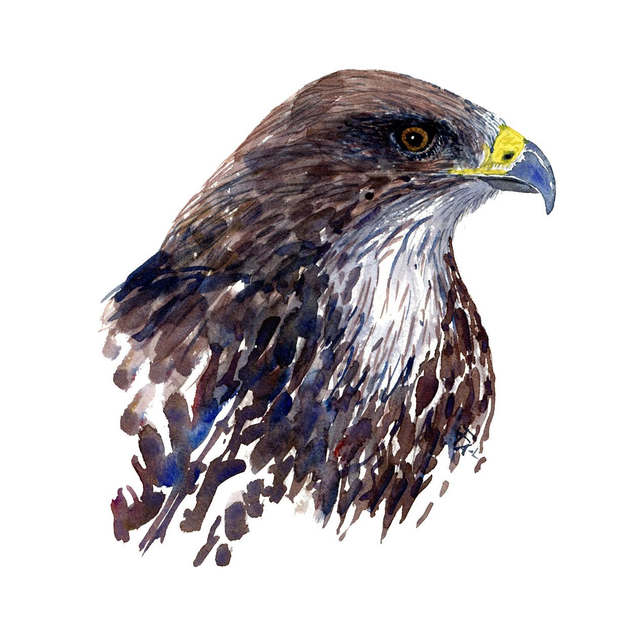 Watercolor of a buzzard bird. Art by Frits Ahlefeldt