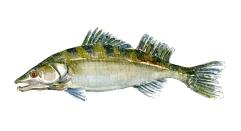 Watercolor of freshwaterfish, by Frits Ahlefeldt - Sandart Dansk Ferskvandsfisk