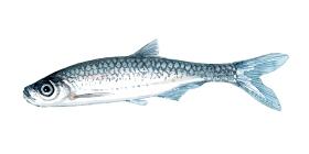 Watercolor of freshwaterfish, by Frits Ahlefeldt - Løje Dansk Ferskvandsfisk