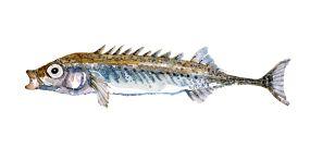Watercolor of freshwaterfish, by Frits Ahlefeldt - Nipigget hundestejle Dansk Ferskvandsfisk