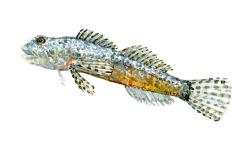 Watercolor of freshwaterfish, by Frits Ahlefeldt - Finnestribet feskvandshulk Dansk Ferskvandsfisk