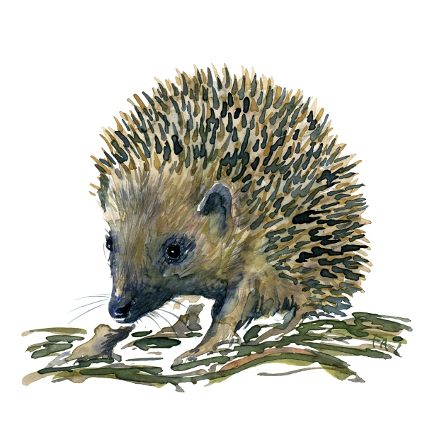 hedgehog watercolor by Frits Ahlefeldt