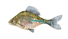 Watercolor of freshwaterfish, by Frits Ahlefeldt - Bitterling Dansk Ferskvandsfisk