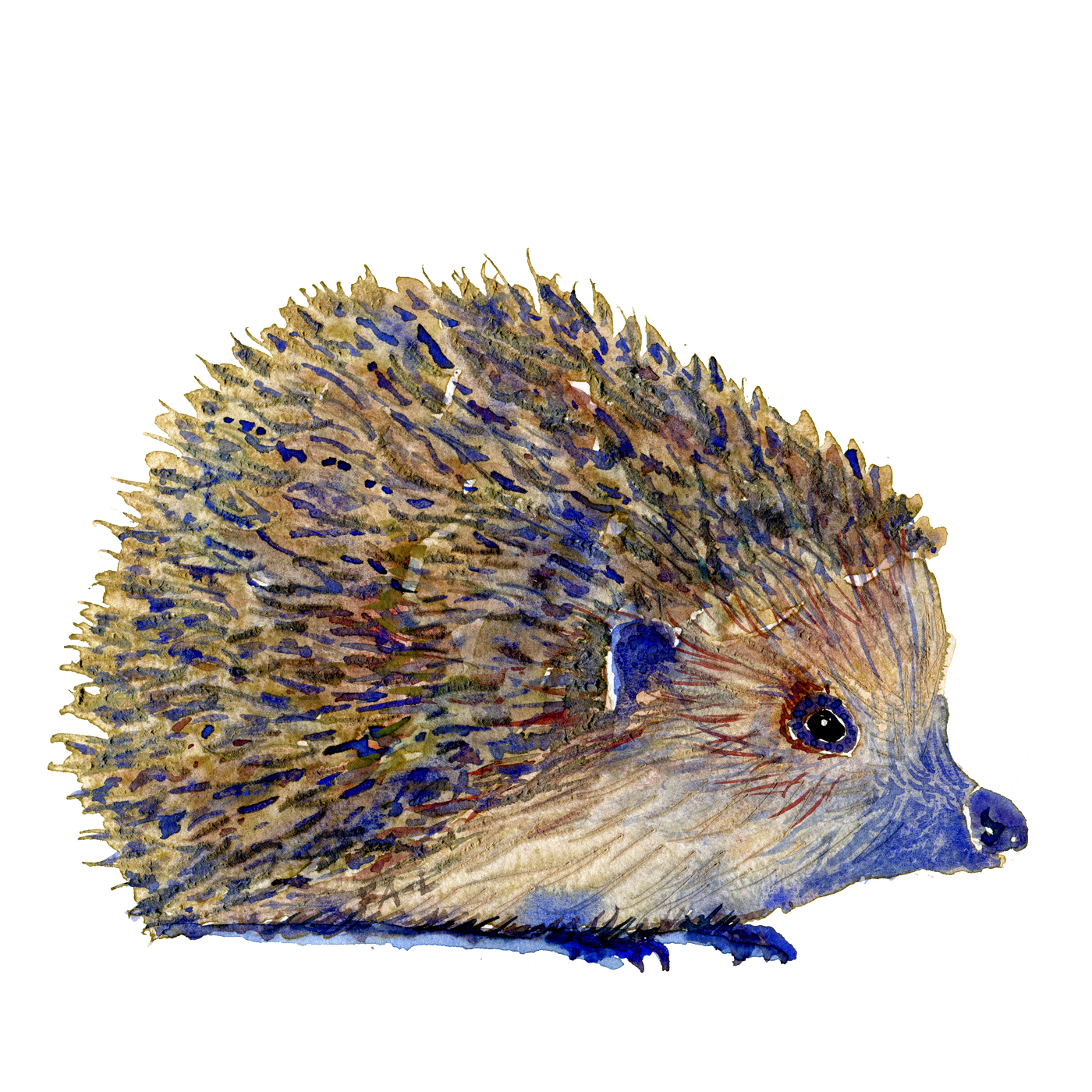 Watercolor of hedgehog, artwork by Frits Ahlefeldt