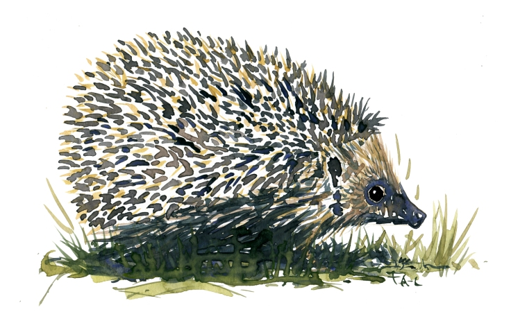 Watercolor of Hedgehog