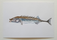Fish watercolor Pickle back