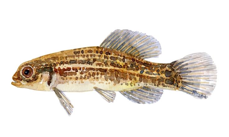 Watercolor of freshwaterfish, by Frits Ahlefeldt - Lille hundefisk Dansk Ferskvandsfisk