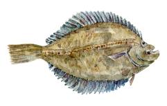 Watercolor of freshwaterfish, by Frits Ahlefeldt - Skruppe Dansk Ferskvandsfisk