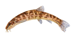 Watercolor of freshwaterfish, by Frits Ahlefeldt - Smerling Dansk Ferskvandsfisk