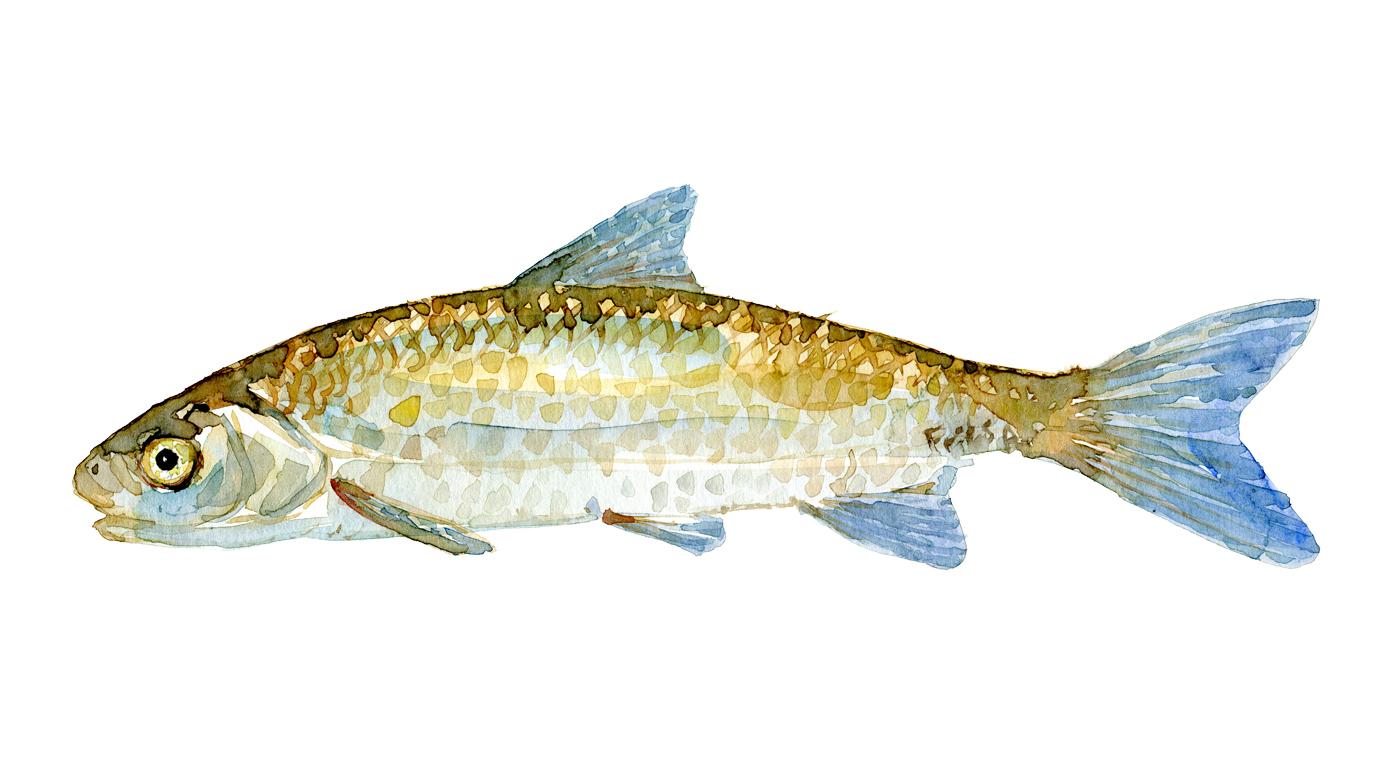 Watercolor of freshwaterfish, by Frits Ahlefeldt - Stroemskalle Dansk Ferskvandsfisk