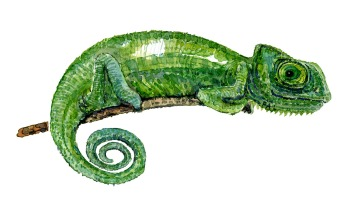 Watercolor of Green Chameleon by Frits Ahlefeldt