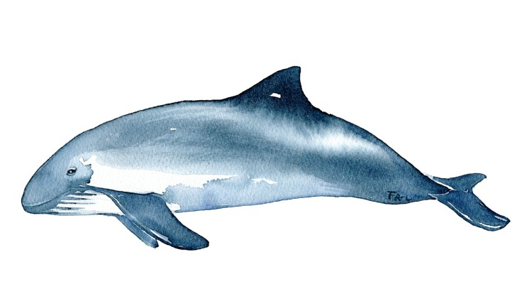 Watercolor of the Harbour Porpoise - a Small whale. Art by Frits Ahlefeldt