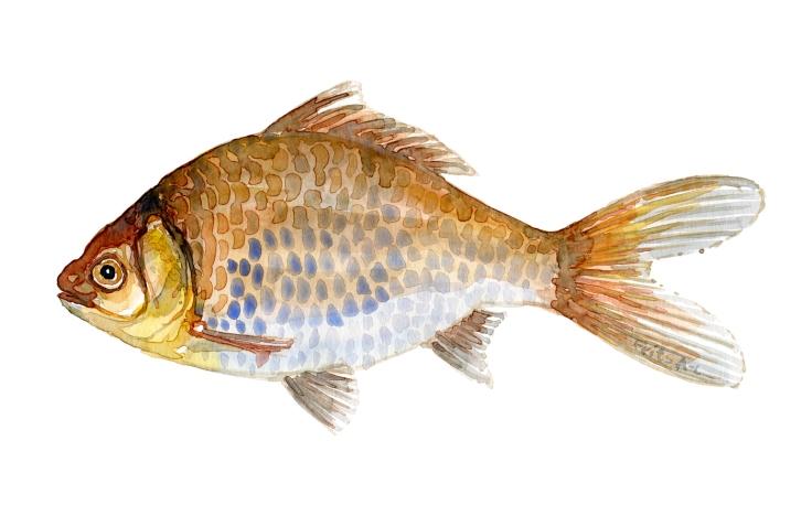 Watercolor of freshwaterfish, by Frits Ahlefeldt - Guldfisk / Sølvkarusse Dansk Ferskvandsfisk