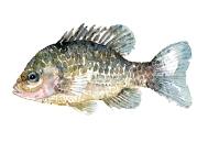 Watercolor of freshwaterfish, by Frits Ahlefeldt - Solaborre Dansk Ferskvandsfisk