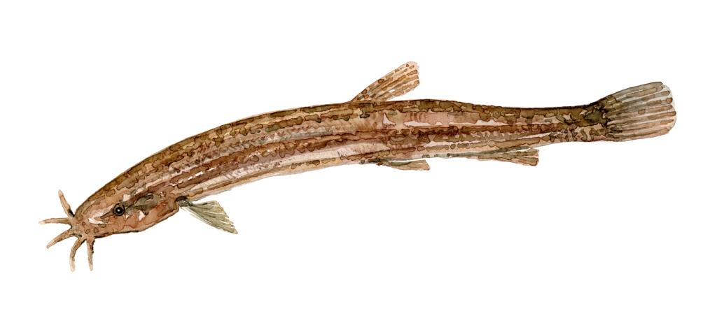 Watercolor of freshwaterfish, by Frits Ahlefeldt - Dynsmerling Dansk Ferskvandsfisk