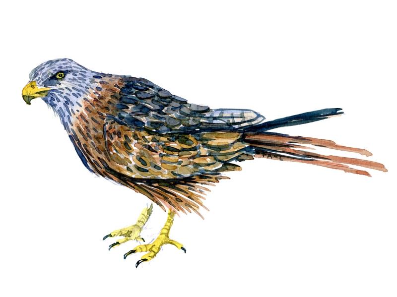 Red kite Drawing