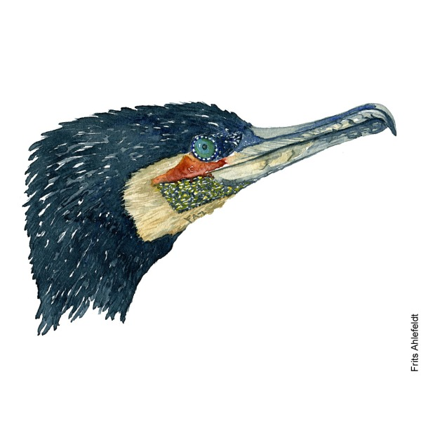Watercolor of a Great Cormorant. ( Skarv) painting by Frits Ahlefeldt