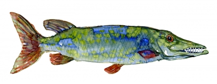 Watercolour of pike, freshwater fish