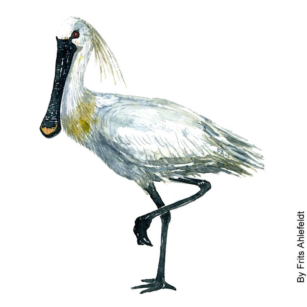 Watercolor illustration of Eurasian Spoonbill standing. Painting by Frits Ahlefeldt