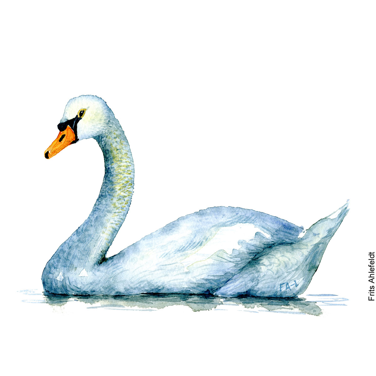 Watercolor of Mute swan ( Cygnus olor, Höckerschwan, knopsvane ) Biodiversity illustration by Frits Ahlefeldt