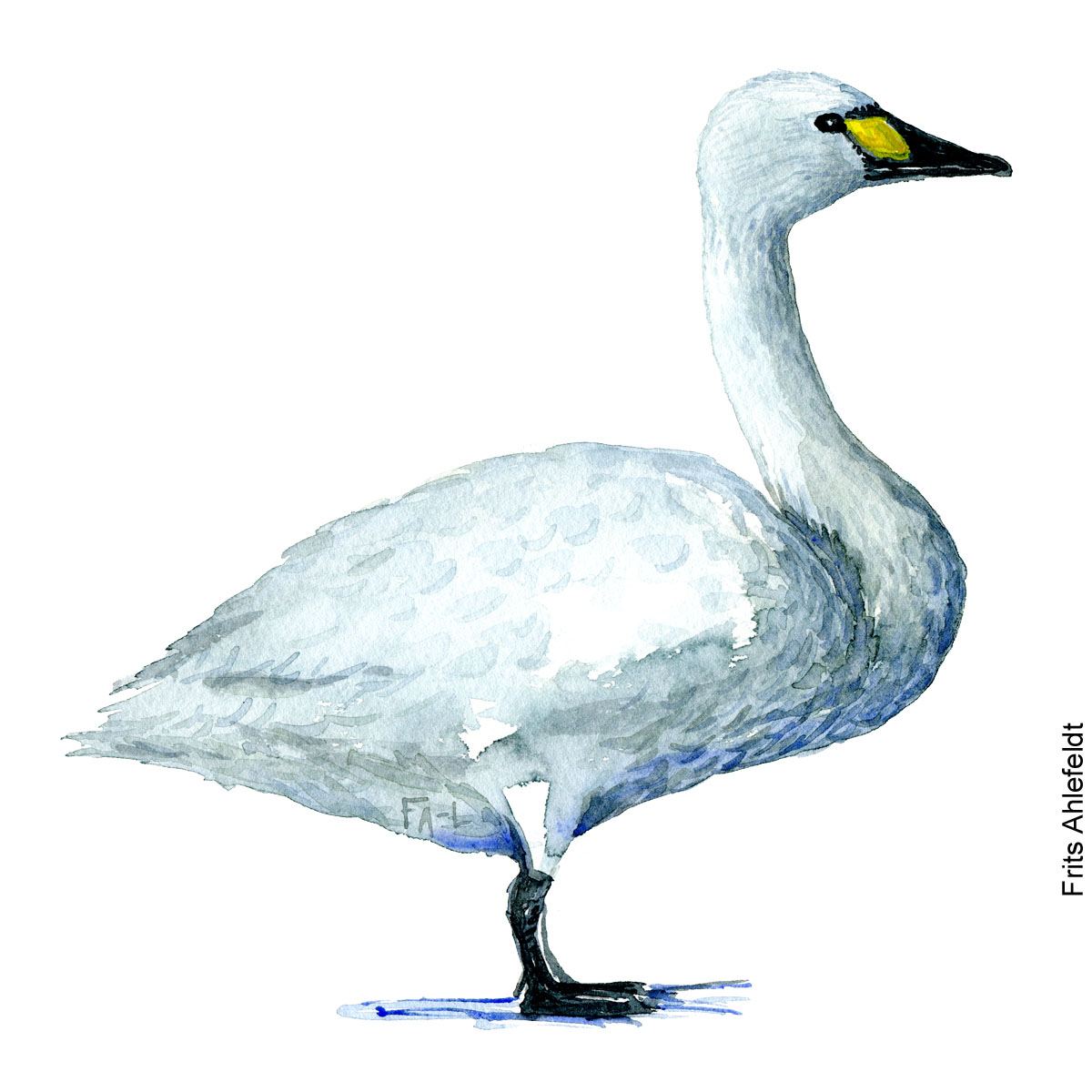 Watercolor of Tundra swan - Bewick's swan / Whistling swan (Pibesvane, TundraSchwan, Cygnus columbianus ) Biodiversity illustration by Frits Ahlefeldt