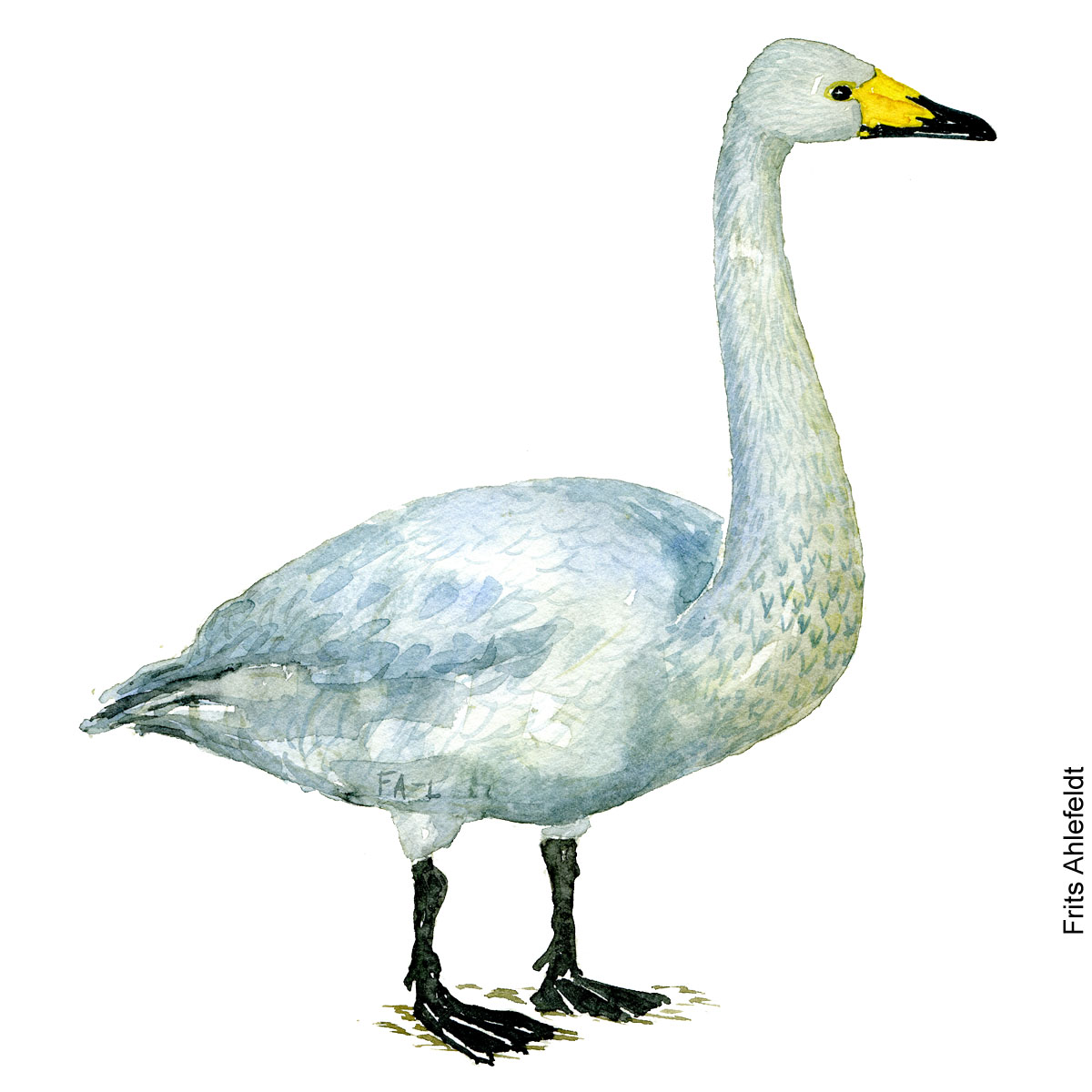 Watercolor of -Whooper swan ( cygnus cygnus, sangschwane - sangsvane) Biodiversity illustration by Frits Ahlefeldt