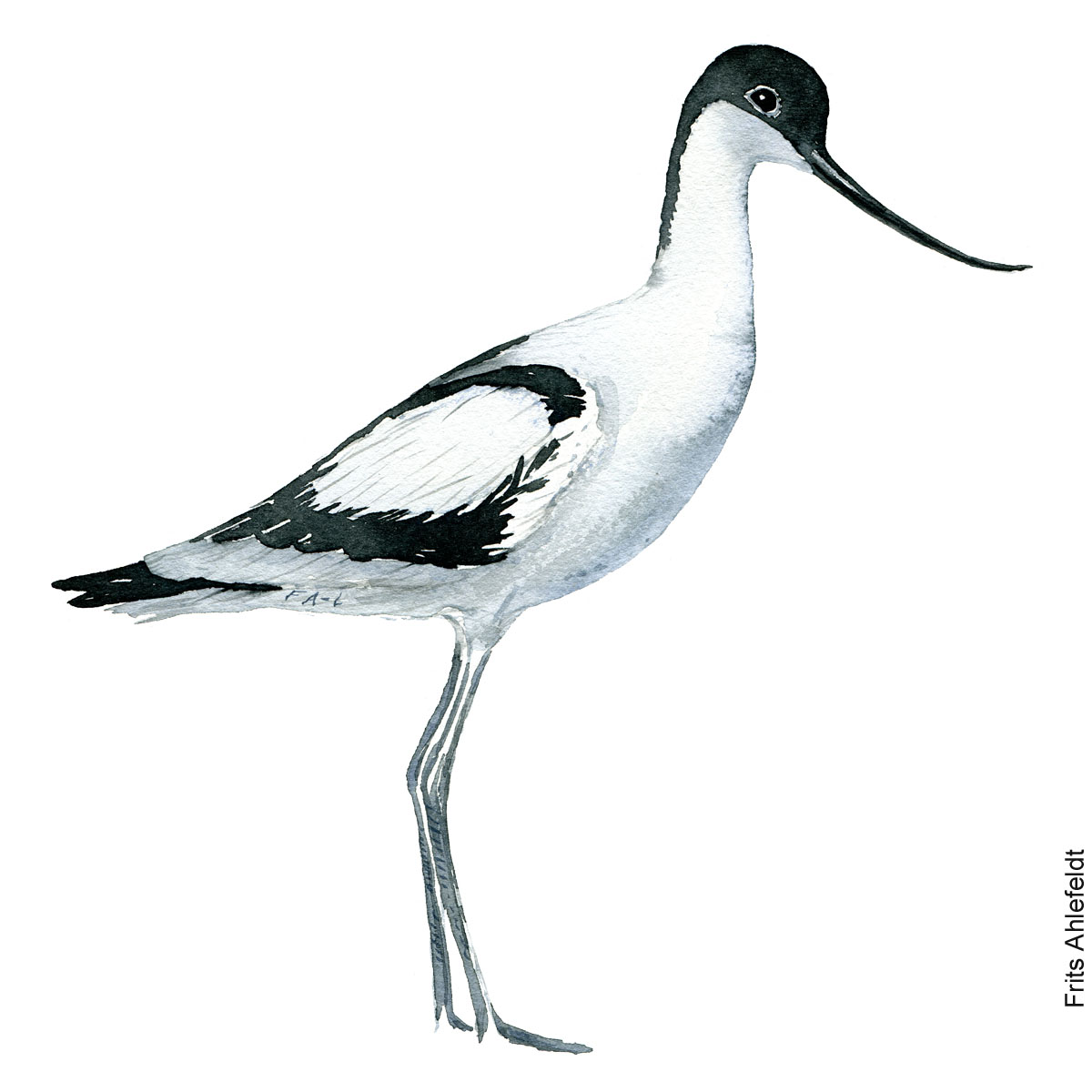 Watercolour illustration The Pied Avocet wading bird (Recurvirostra avosetta) - Klyde. By Frits Ahlefeldt