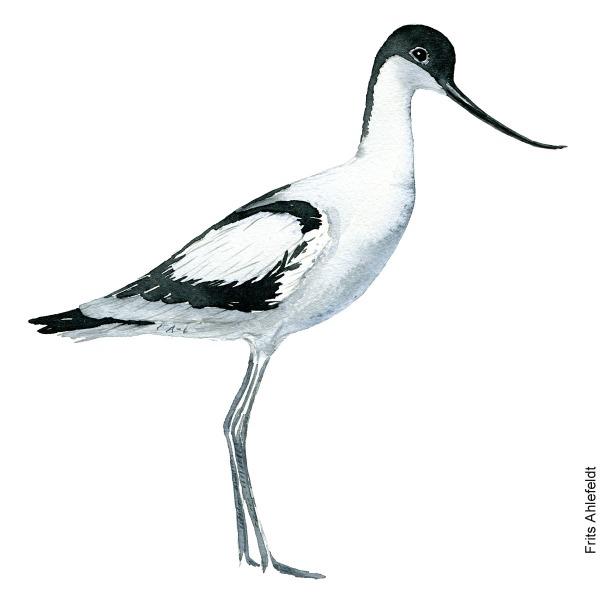 Watercolour illustration The Pied Avocet wading bird (Recurvirostra avosetta) - Klyde. By Frits Ahlefeldt