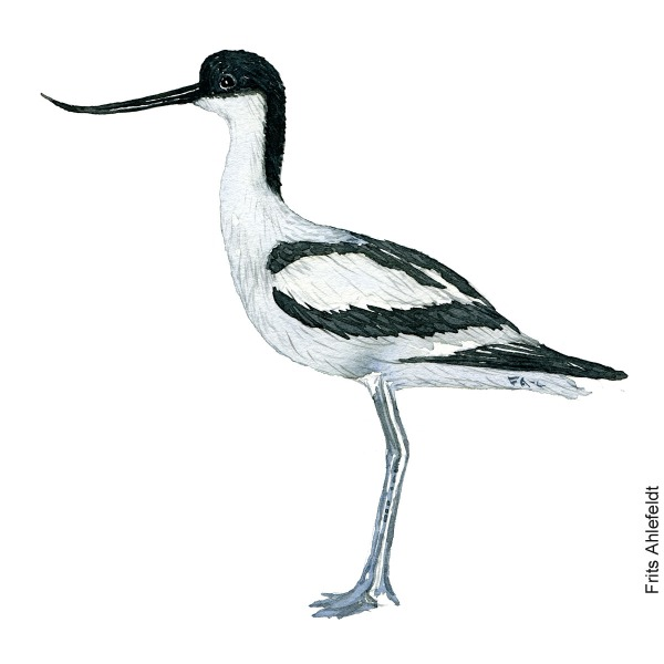 Watercolour illustration of The Pied Avocet wading bird (Recurvirostra avosetta) - Klyde. Painting by Frits Ahlefeldt