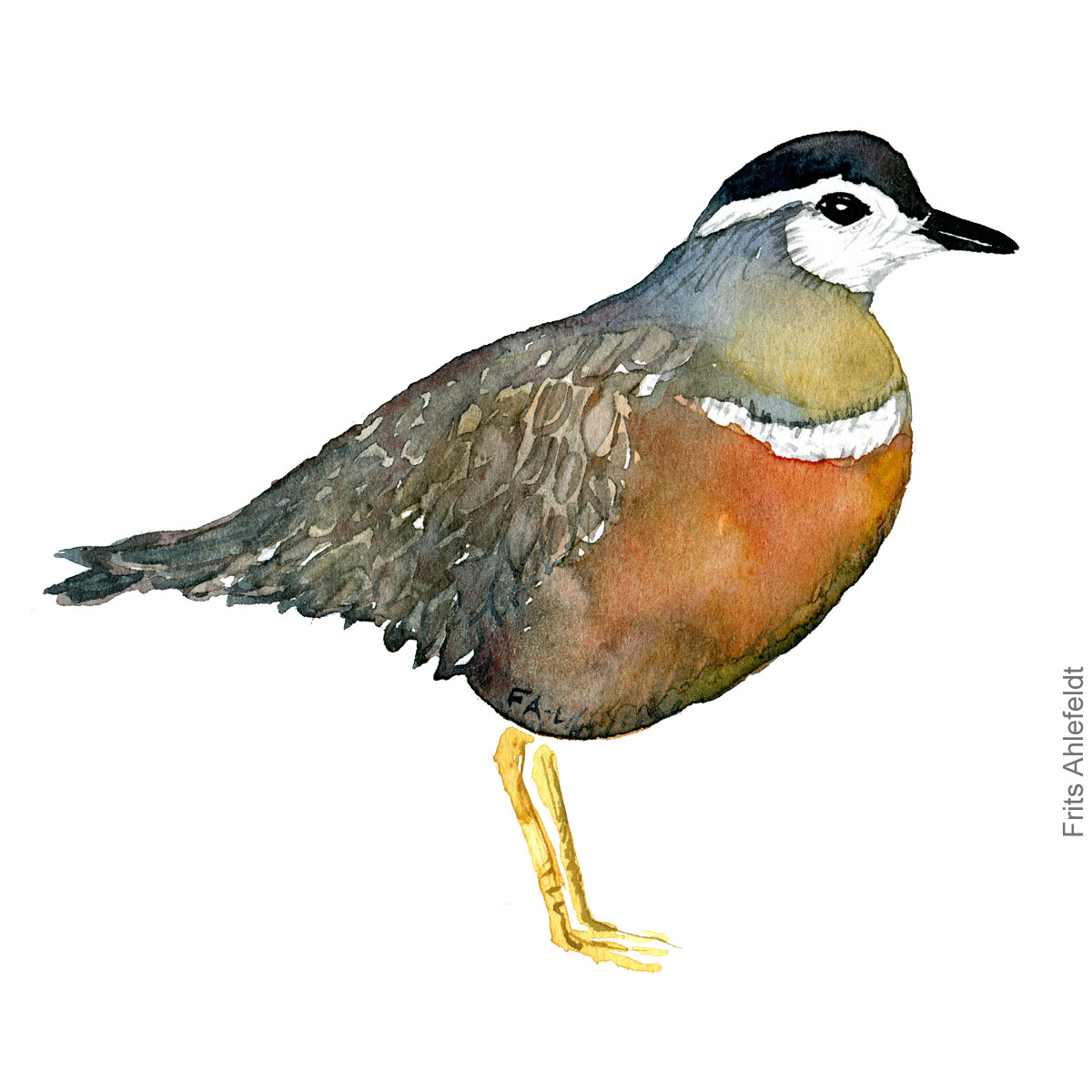 Watercolor illustration Eurasian Dotterel female ( Pomeransfugl - Charadrius morinellus ) Painting by Frits Ahlefeldt