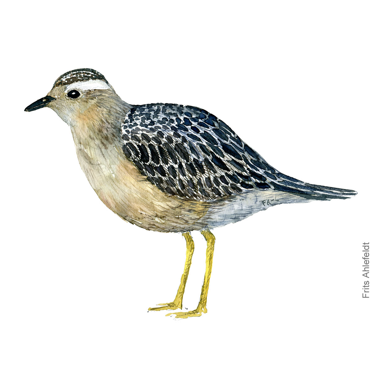 Eurasian dotterel illustration Watercolor by Frits Ahlefeldt. Pomeransfugl akvarel