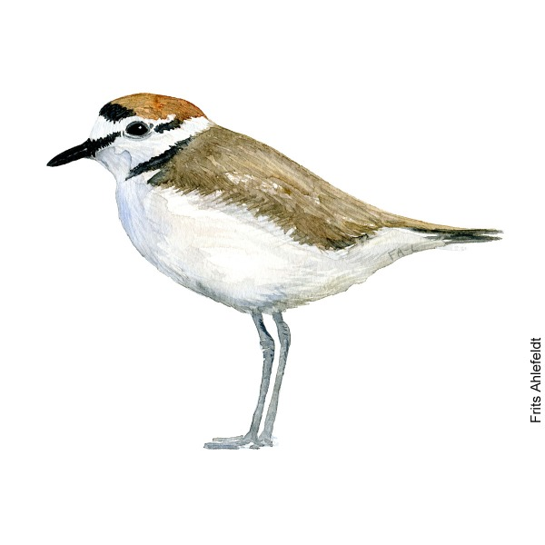 Watercolor painting of Kentish plover. Art by Frits Ahlefeldt. Akvarel