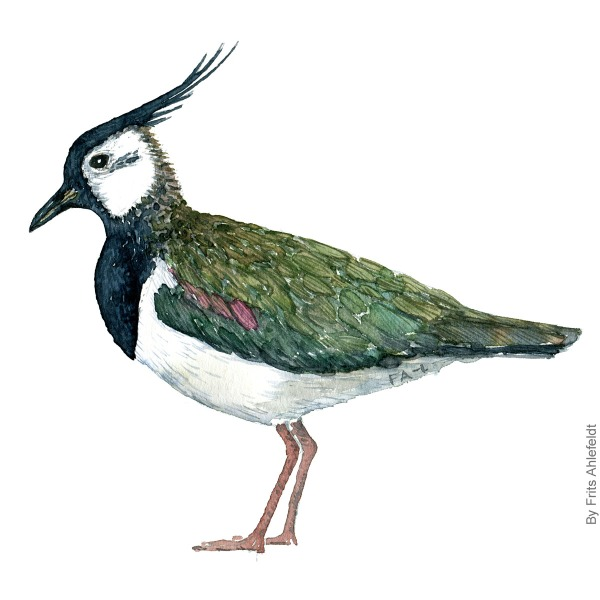 Watercolour illustration of Northern lapwing bird ( Pewit ) Vibe. Painting by Frits Ahlefeldt