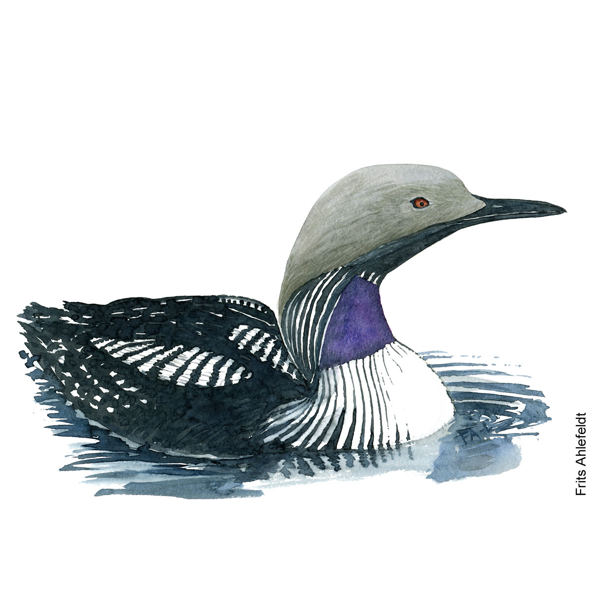 Watercolor illustration of Black throated loon ( Arctic loon - Gavia arctica - Sortstrubet lom ) Artwork by Frits Ahlefeldt