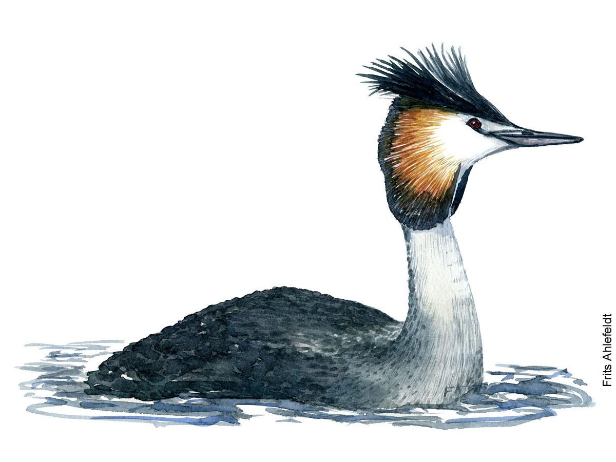 Dw00066 Great Crested grebe ( Podiceps arctica - Toppet lappedykker) watercolor by Frits Ahlefeldt