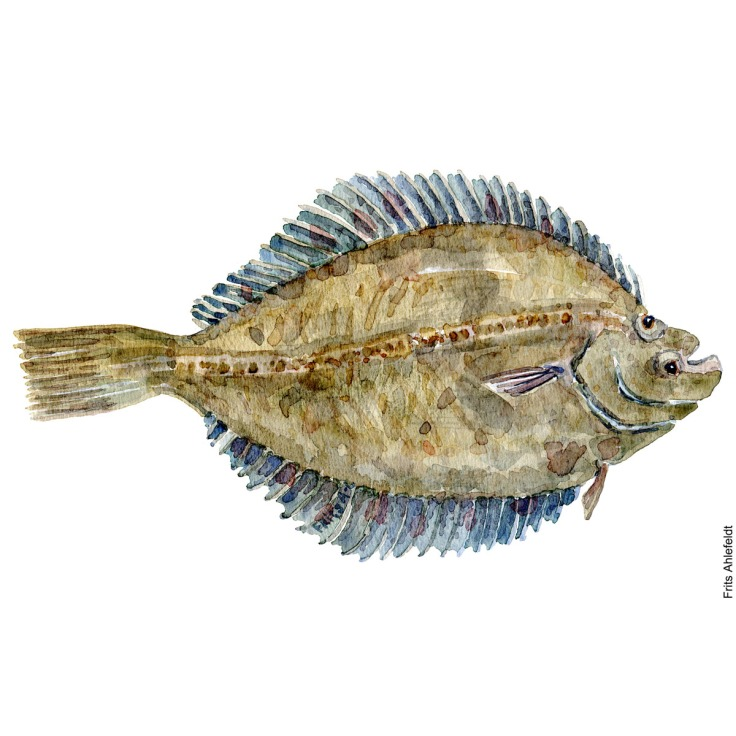 Illustration of Flounder. Skrubbe. Freshwater fish watercolour handmade by Frits Ahlefeldt