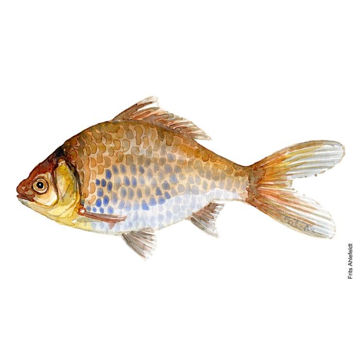 Illustration of goldfish. Sølvkarusse. Freshwater fish watercolour handmade by Frits Ahlefeldt