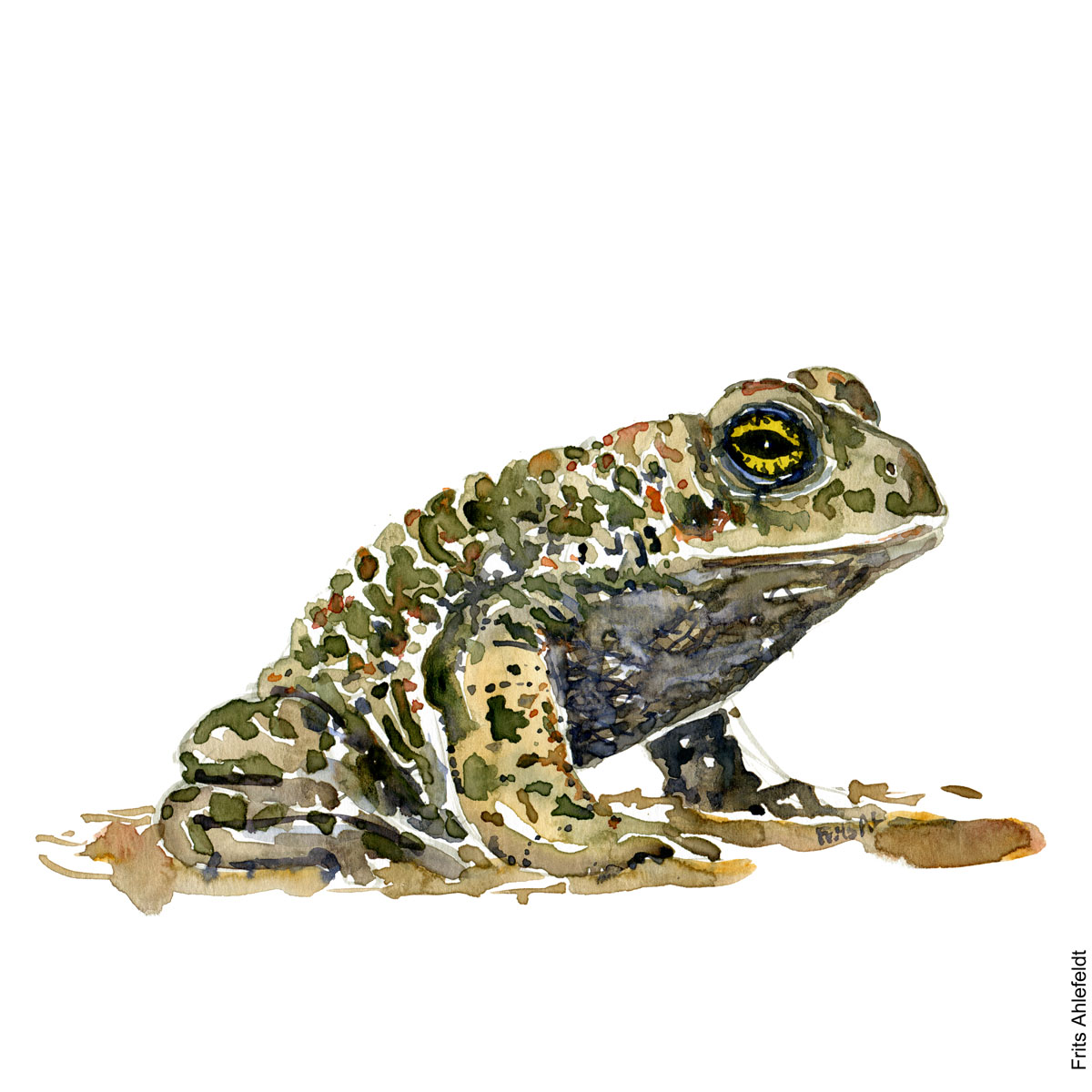 Illustration of Natterjack toad. sideview. looking right. Frog watercolor painting handmade by Frits Ahlefeldt