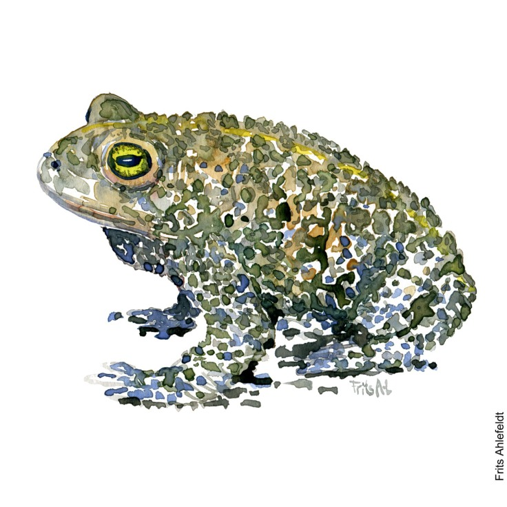 Illustration of Natterjack toad. Sideview. Frog watercolor painting handmade by Frits Ahlefeldt